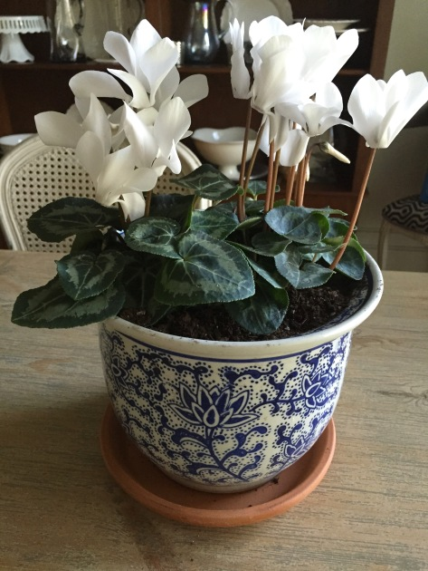 indoor flowers in a blue and white pot